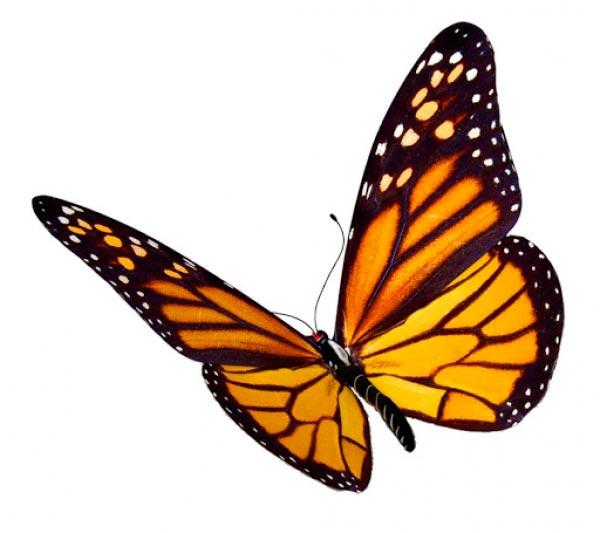 borboleta Figura do Slideshow #2
